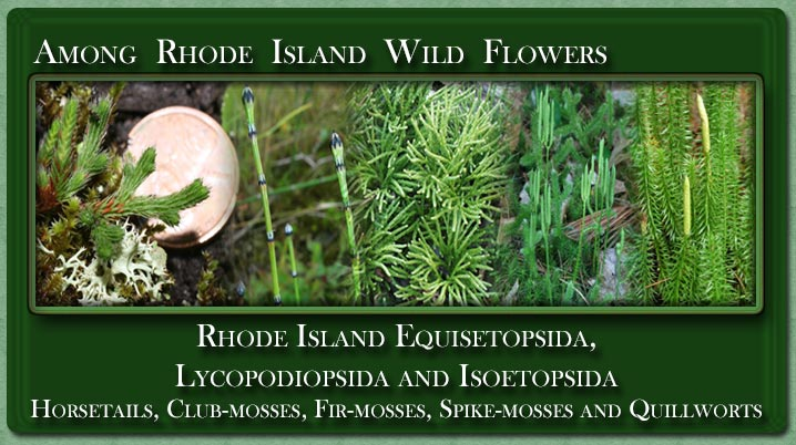 Rhode Island Equisetopsida and Lycopodiopsida  or Horsetails, Club-mosses, Spike-mosses and Quillworts